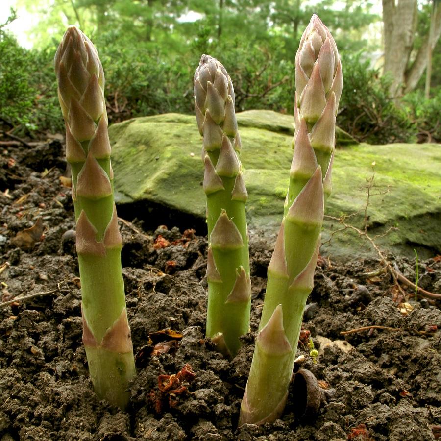 perennials vegetables asparagus