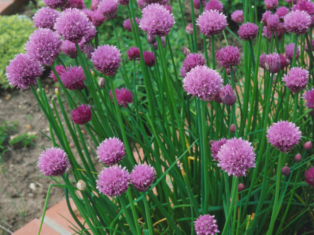perennials vegetables Chives