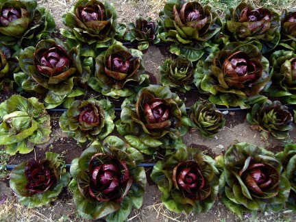 Perennials Vegetable Radicchio