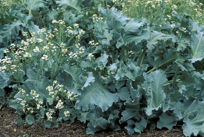 Sea Kale perennials vegetables