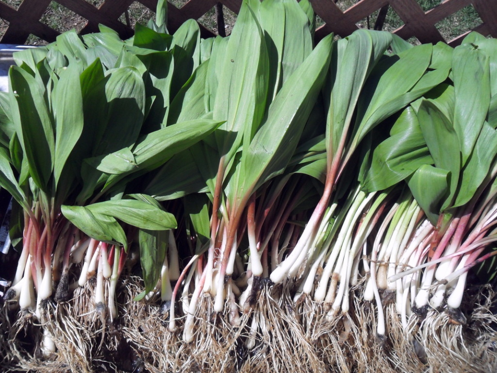 Perennials vegetable wild leeks