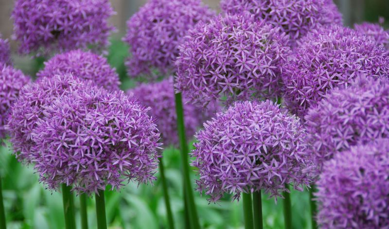 Alliums Plants