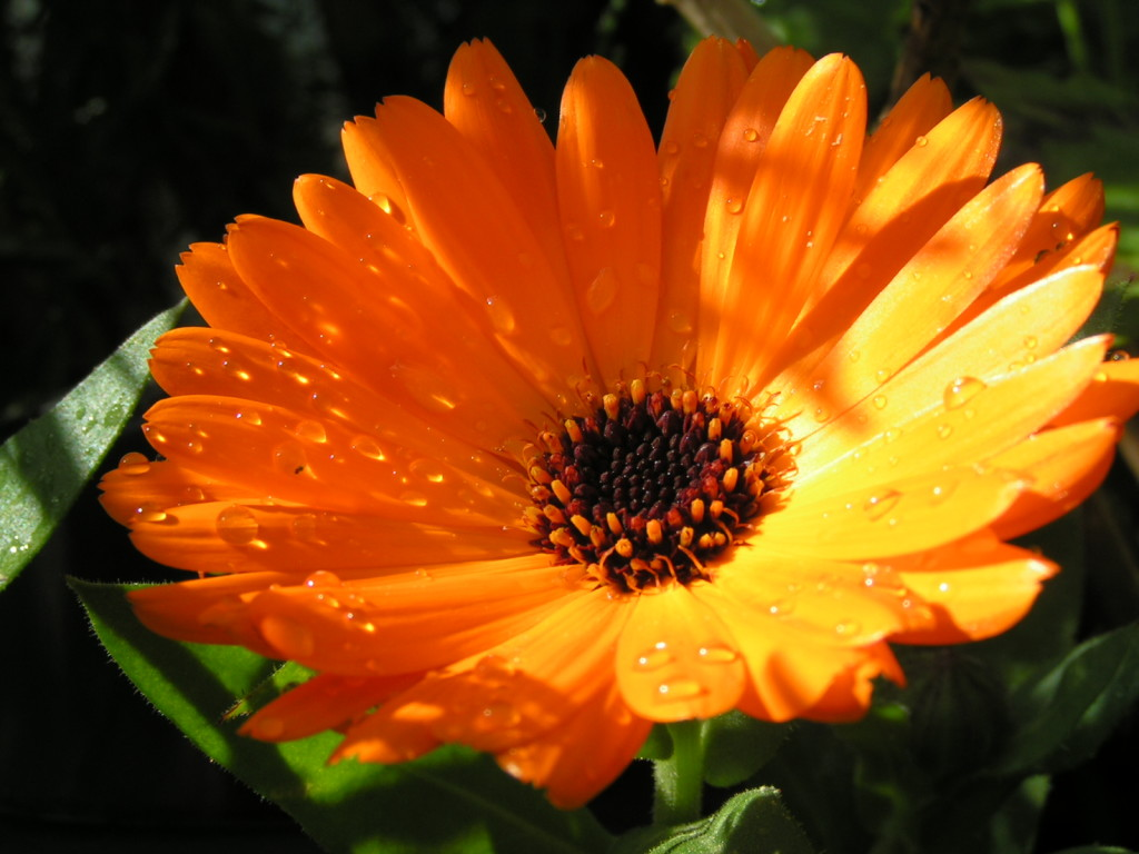 Calendula flowers for food