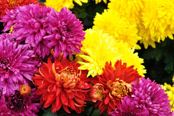 Chrysanthemums Flower for food