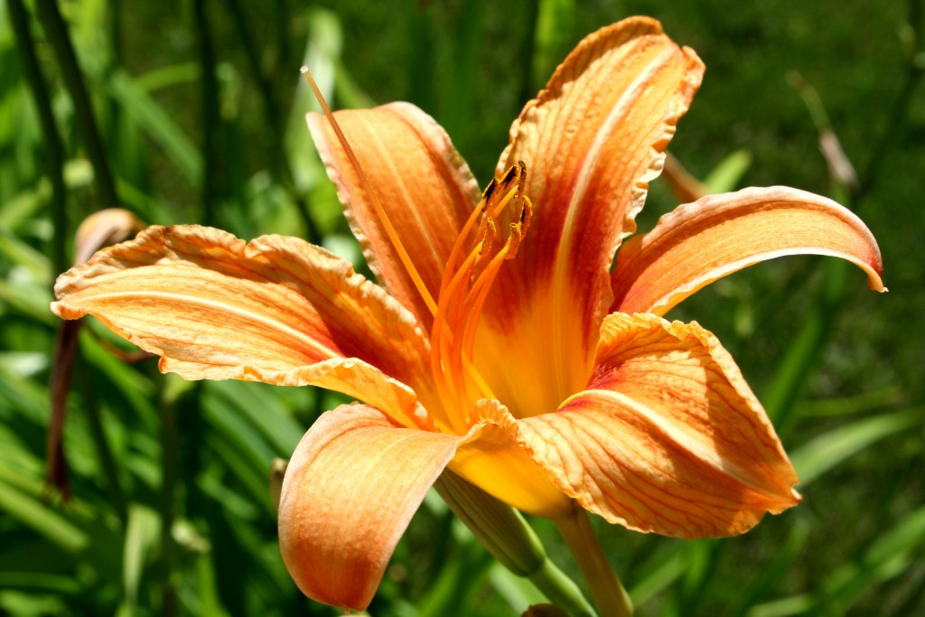 Edible Daylilies for food