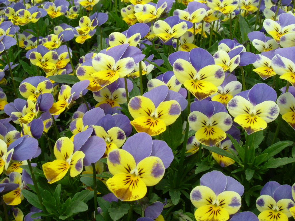 Viola edible flowers