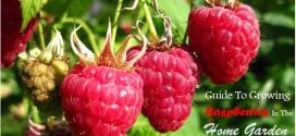 growing raspberries3