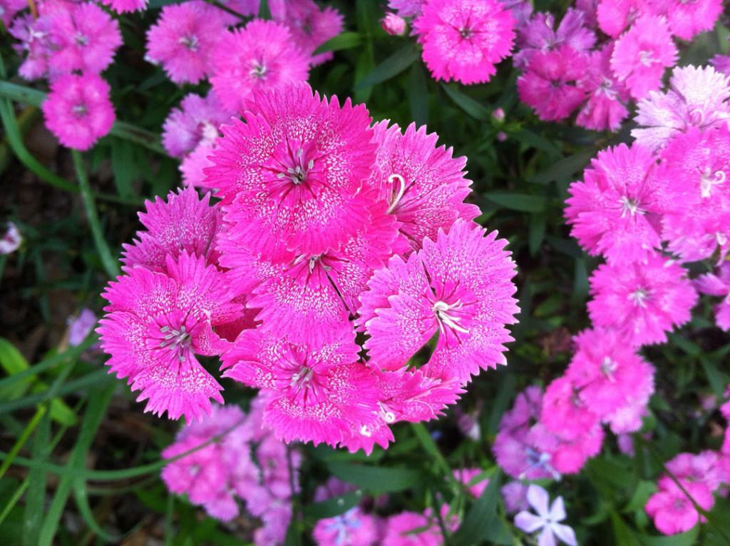 Dianthus pink
