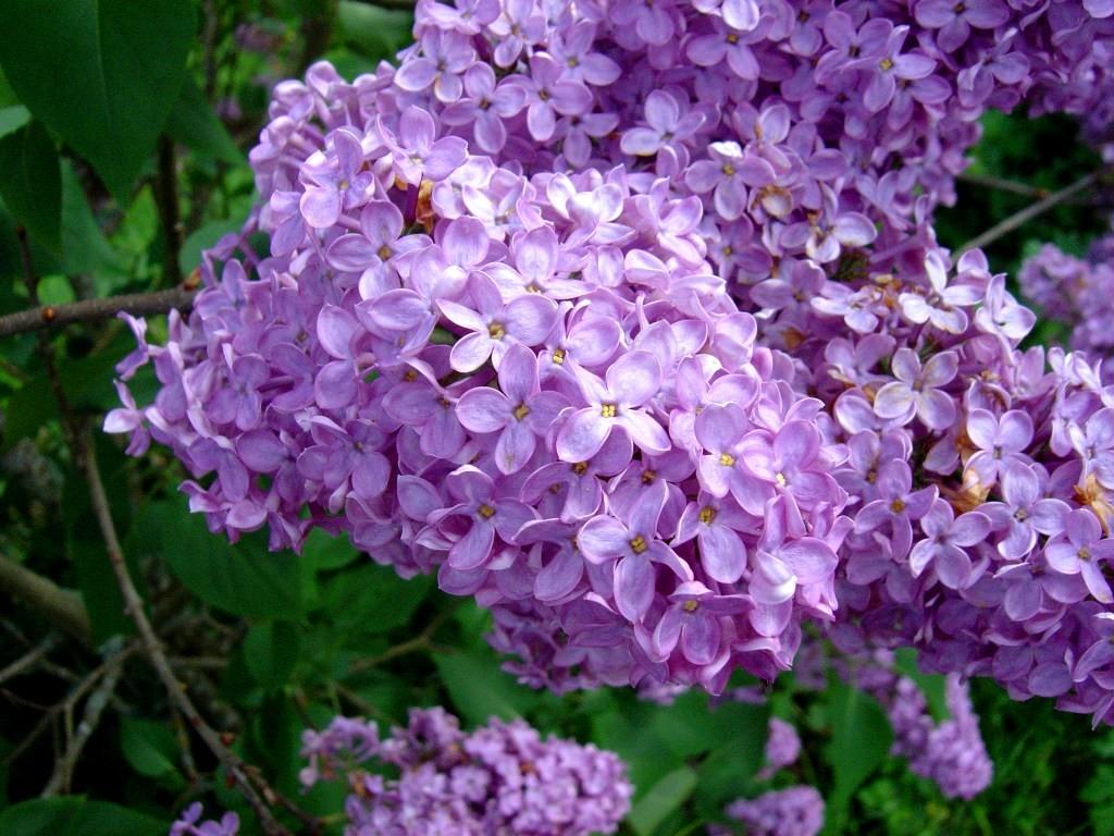 Lilacs flowers