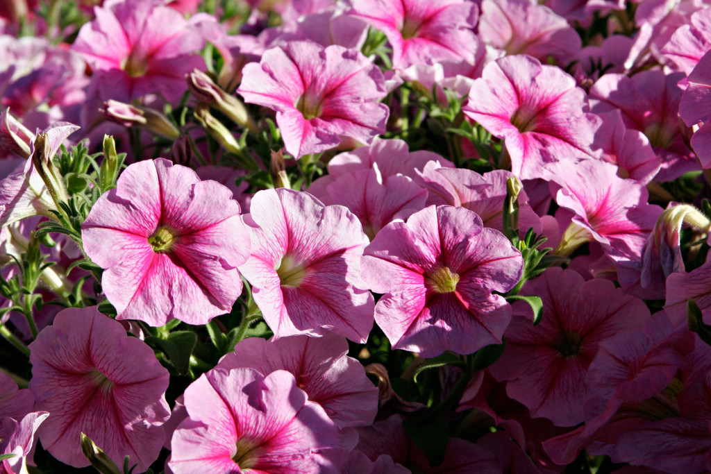 Pink_petunias floowers