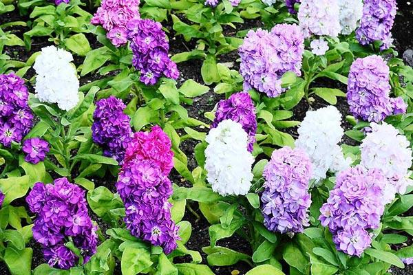 Stock flowers to grow