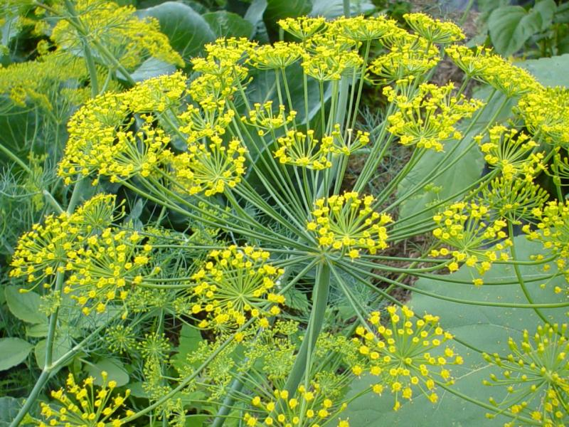 dill plant to grow