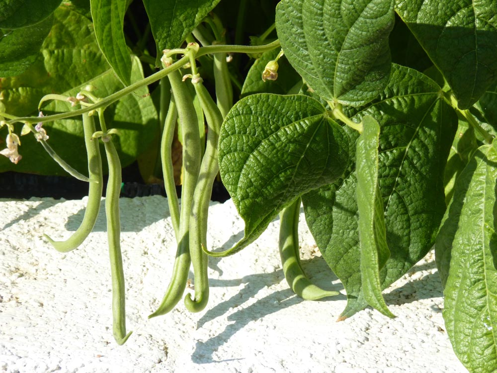 growing greenbeans