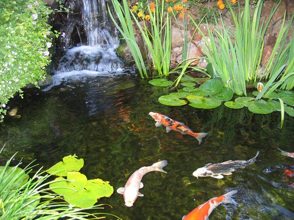Koi fish for Starting a koi pond