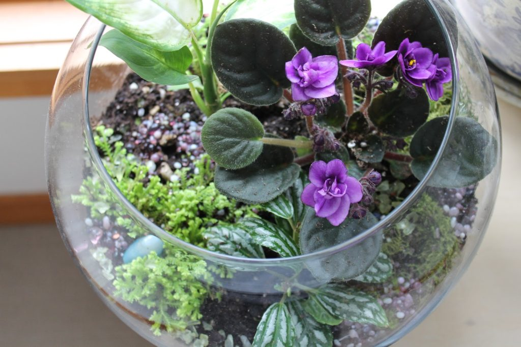miniature-african-violets