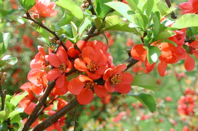 Flowering Quince flower