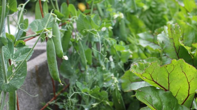 Winter Peas