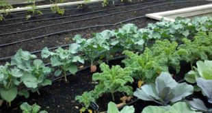 vegetables to grow in winter