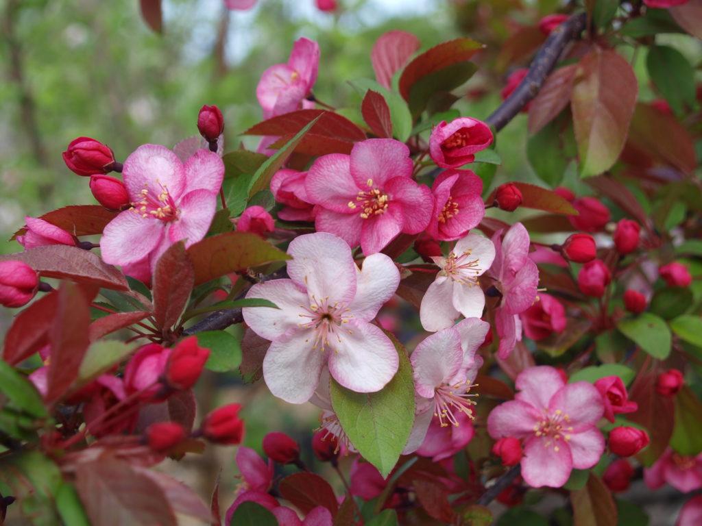 Crabapple Flower