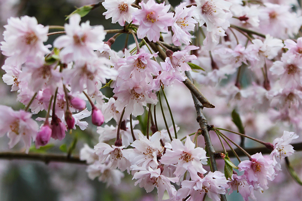 Weeping Cherry Flower