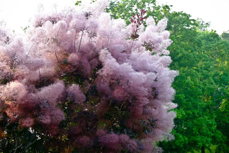 Smoketree Flower
