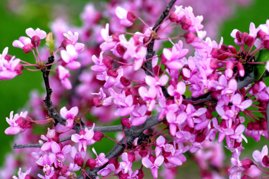 Eastern Redbud Flower