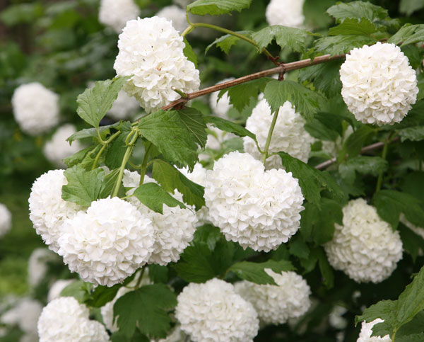 Japanese Snowball Flower