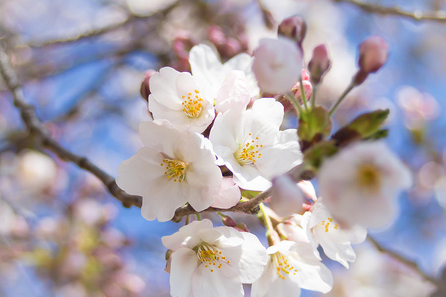 Yoshino Cherry Flower
