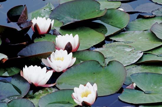 water Lilies - Nymphaeaceae