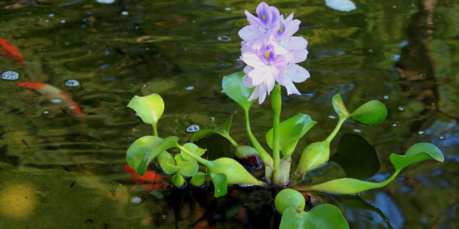 floating pond plant
