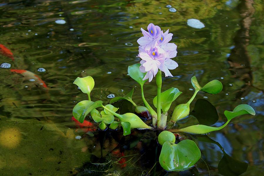 Water Hyacinth - Eichhorniacrassipes